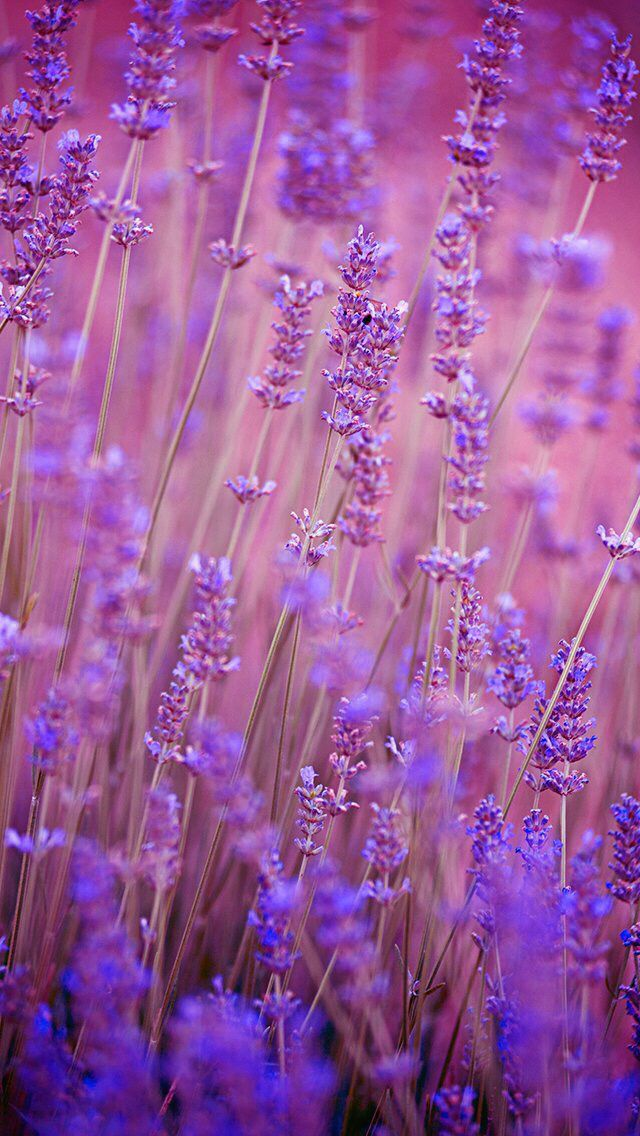 Nature wallpaper iPhone flowers purple Лаванда