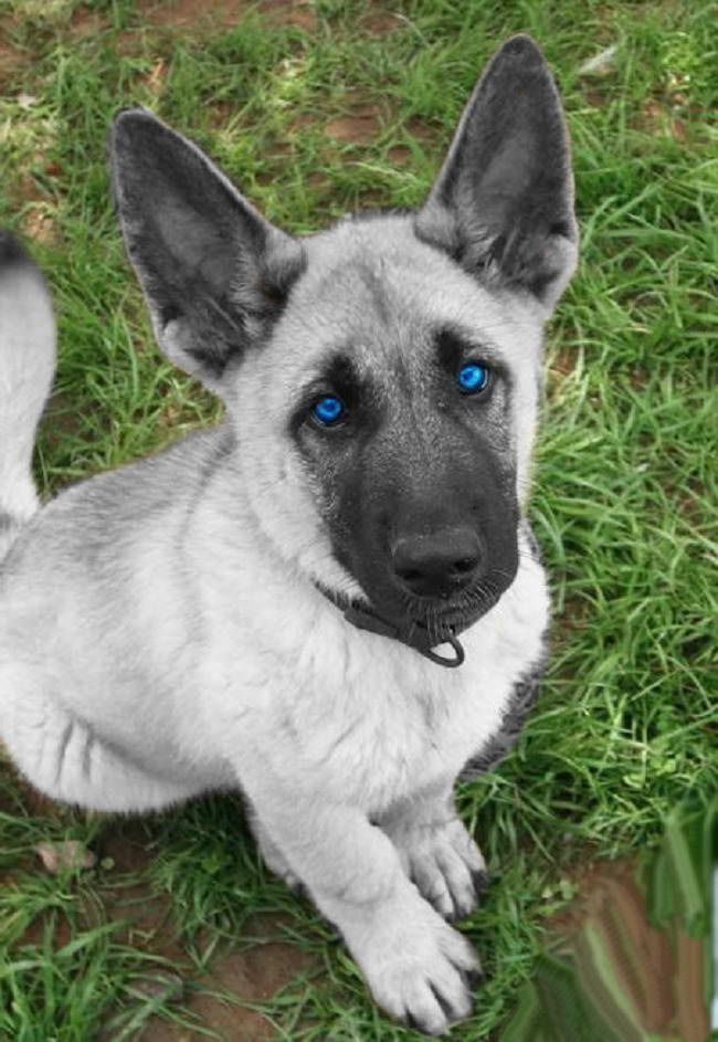 Blue Eyed German Shepherd Puppies For Sale Puppies With Blue