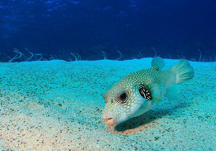 Eel Garden Dahab is our 'house reef' here at Dive Urge, float above the soft white sand and enjoy critters like this amazing White Spotted Puffer Fish, then kick back and enjoy staying in one of our lovely rooms http://dive-urge.com/resort/rooms-accommodation-packs/