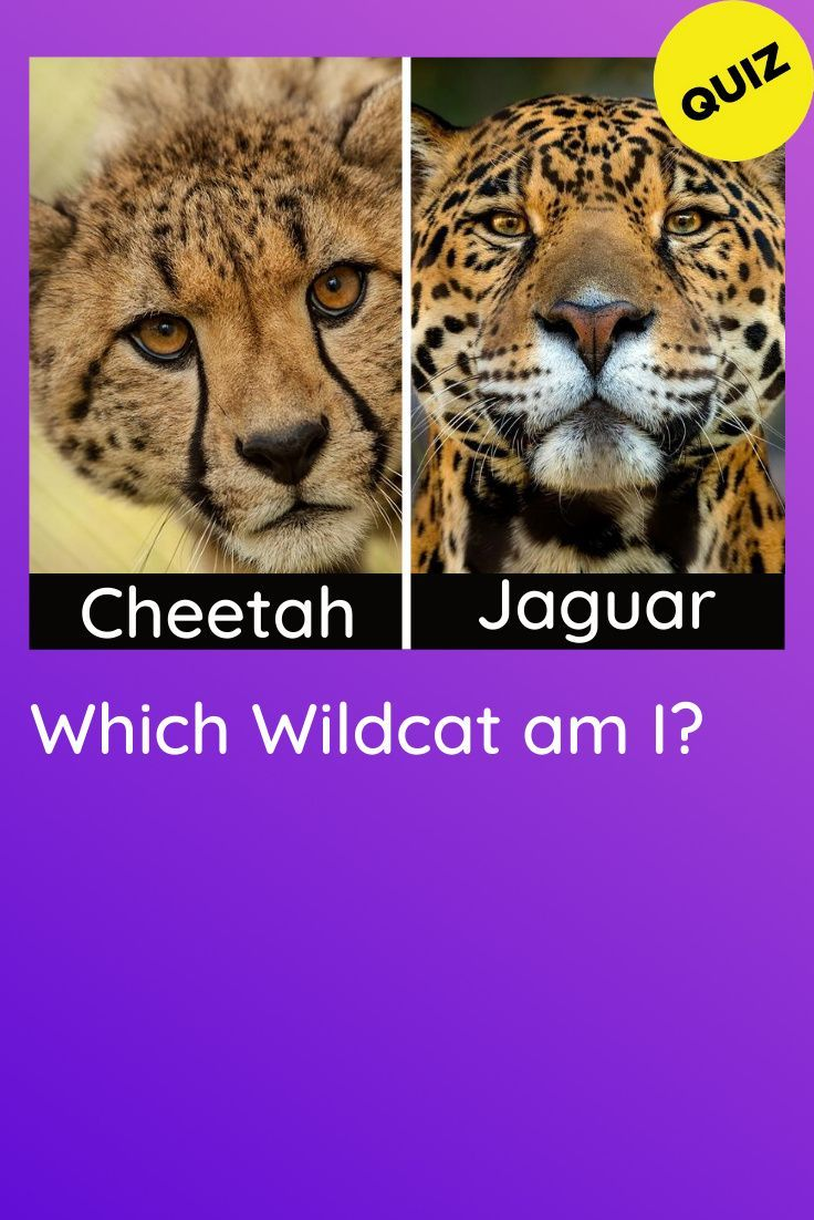 Which Wildcat Am I In 2020 Wild Cats Animals Wild Cute Animals