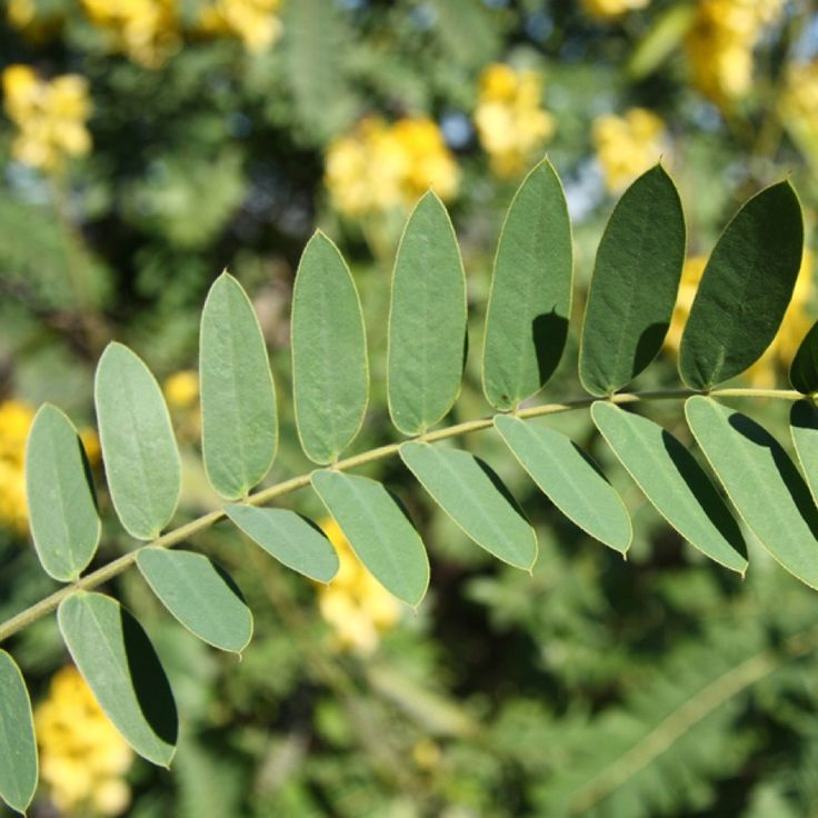 Peanut butter cassia | Senna didymobotrya - sometimes appears in our garden. Competes with indigenous species. Poisonous. CARA 2002 – Category 1 Hyperlink legislation NEMBA – a. 1b in Eastern Cape, KwaZulu-Natal, Limpop, Mpumalanga and Western Cape. b. Not listed elsewhere.