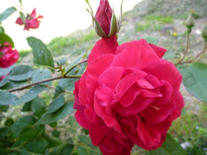 La romántica rosa
