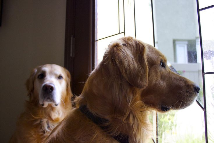 Love of goldens in 2020 dog heaven beautiful puppy