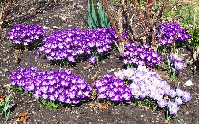 105 best Flower Garden - Crocus, Daffodils, Tulips images ...
