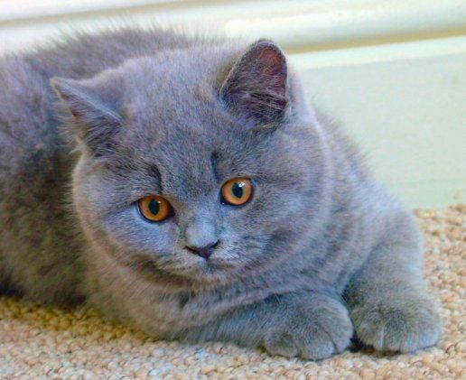 British Blue shorthair. Toooo cute!