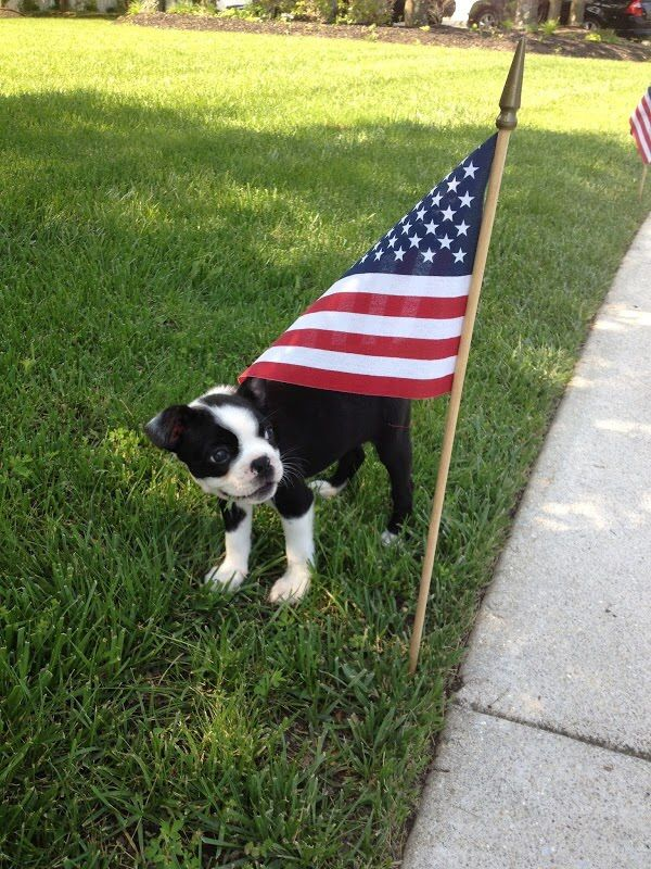 First Memorial Day Of A 2 Months Old Boston Terrier Dog Named Dexter