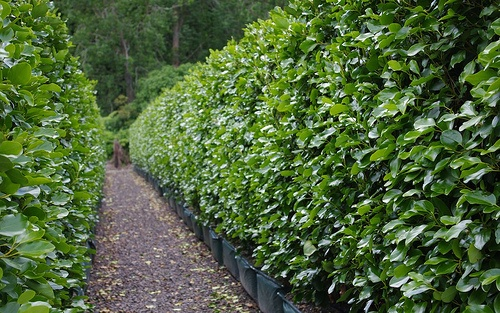 Griselinia littoralis 'Broadway Mint' - beautiful, tall hedge selection