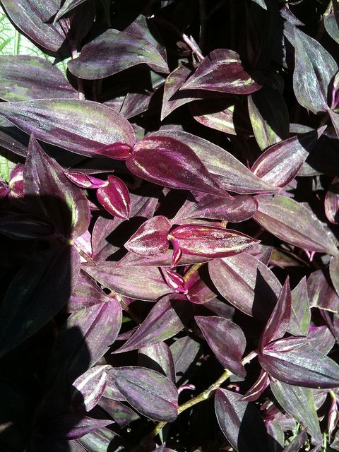 39 best images about tradescantia on pinterest for Tradescantia zebrina