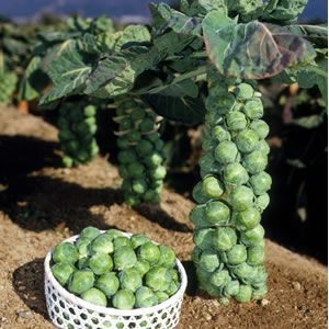 Выращивание Брюссельской капусты из рассады, посадка и уход за ней