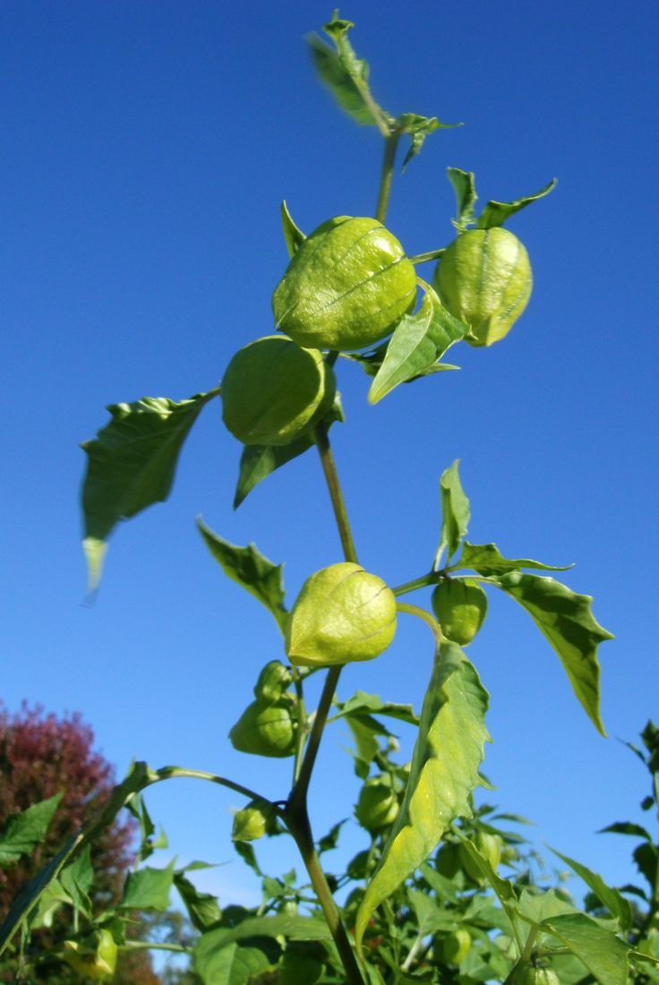 how to tell when tomatillos are ready to pick