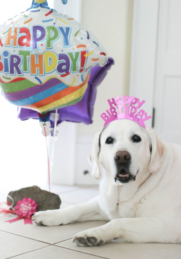 Dog Pawty Bella The Yellow Lab S 14th Birthday Bash With Images