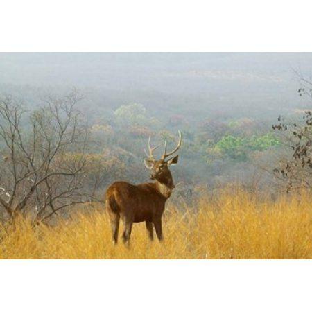 Sambar Deer in Ranthambore National Park Rajasthan India Canvas Art - Keren Su DanitaDelimont (36 x 24)