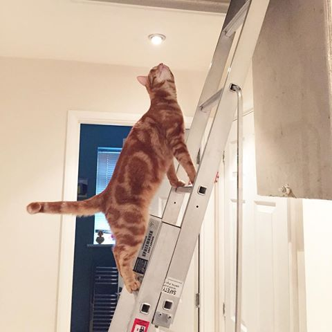 I've never been allowed in the attic. Owners not here so I'm sneaking up.#ginger #ginge