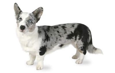 blue merle cardigan welsh corgi