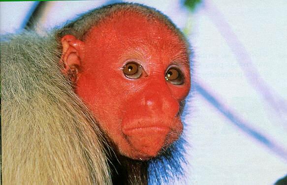 macaco de cara vermelha macaco pinterest caras. Black Bedroom Furniture Sets. Home Design Ideas