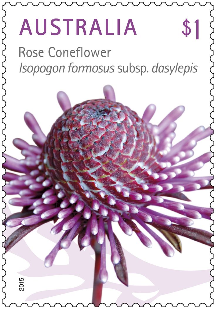 The beautiful Australian wildflower Rose Coneflower #Isopogon is featured on this stamp   #StampCollecting #AustralianStamps #Australianflowers #wildflowers #nativeflowers