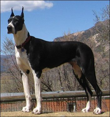 Our Great Danes - puppies- harlequin, mantle, black great ...