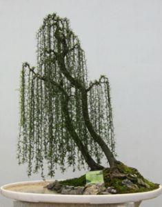 Nombre Común: Sauce Llorón Nombre Científico: Salix babylonica. Origén y Caracteristicas: Árbol caduco originario de Asia, principalmente del norte de China, alcanza los 8 a 12 m de altura, son muy…