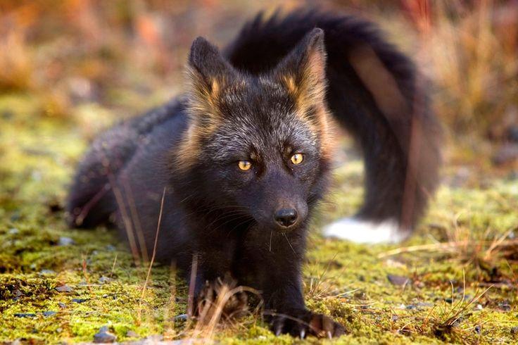 Rare Silver Fox