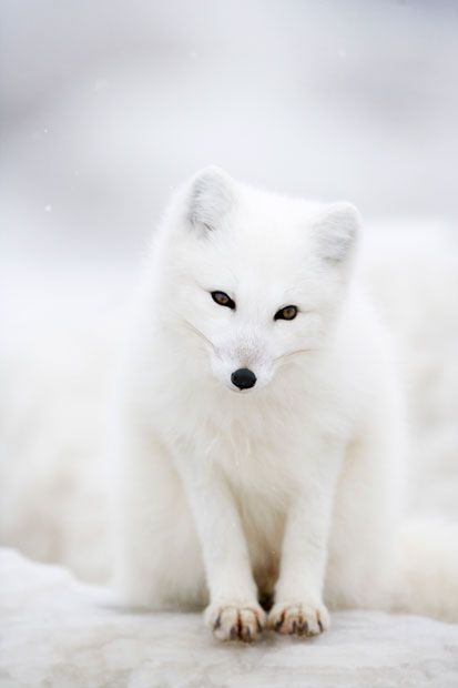 One of Anna Henly's portraits of Arctic foxes in Canada