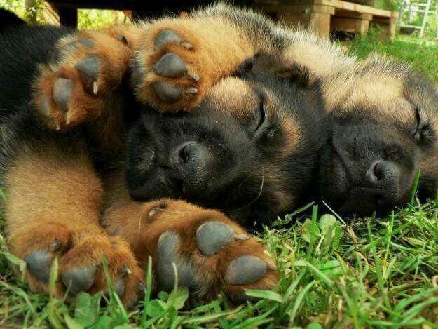Resultado de imagen para german shepherd dog, A wax to protect their precious paws from inevitable damage
