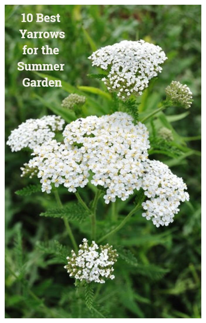 10 Best Yarrow Plants For The Summer Garden Yarrow Plant Perennial Herbs Medicinal Plants