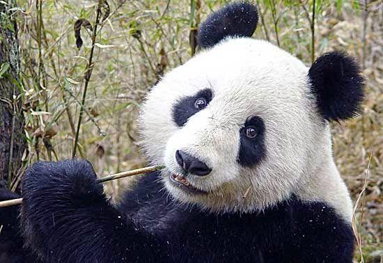 PETALI DI CILIEGIO ...per coltivare la speranza: In difesa degli animali: i Panda giganti rischiano...