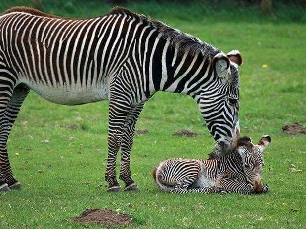 Grévy's zebra....only 1966-2447 estimated to exist in the wild