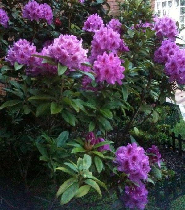 Rododendro doble