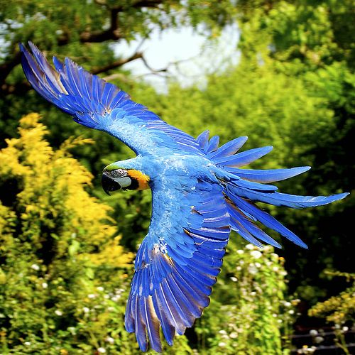 Arara Azul