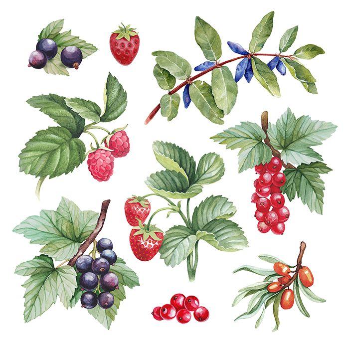Акварель иллюстрации ягод на Behance