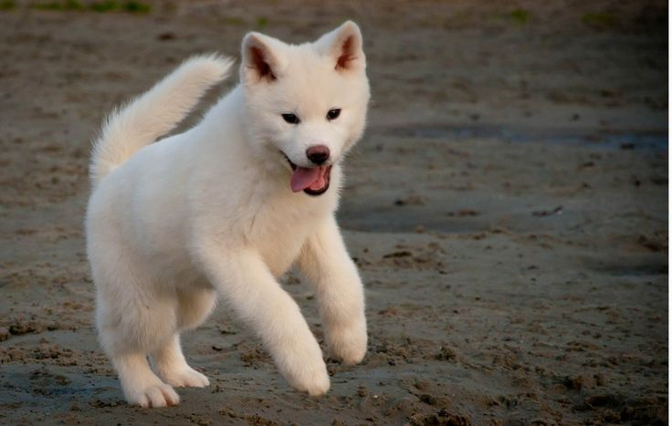 Akita Inu Puppy Can Reach Up To 120 Pounds When Full Grown This