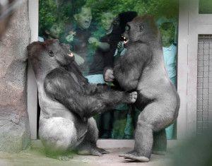 IMG_8572 Gorillas play fight kids - CS