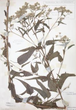 Eupatorium serotinum (Lateflowering thoroughwort)