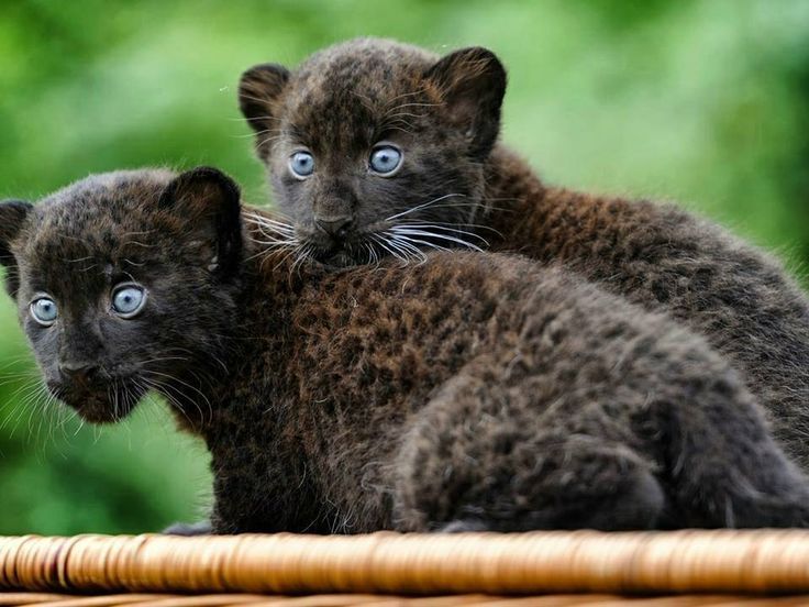 animal panthers cubs - photo #20
