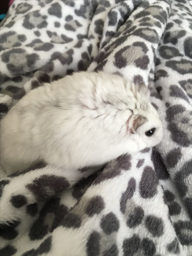 This is actually my hamster! So cute!