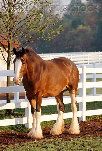 Clydesdale... I really really want one, or two. Or maybe a whole herd...