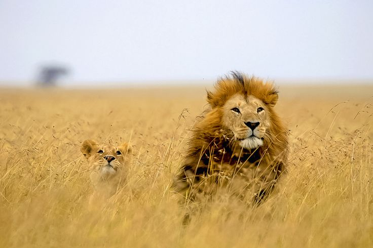 """My 2 year old is crazy about """"The Lion King"""" right now...this photo screams Mufasa and Simba."""