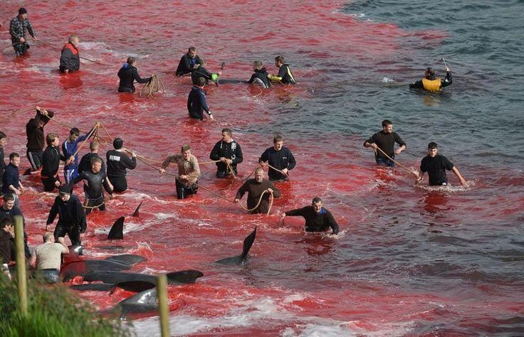 Massacro delle balene alle Isole Faroe: gli abitanti le circondano in mare, le spingono a riva e le uccidono sgozzandole.2015.