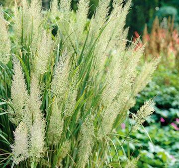 Diamantrör, Calamagrostis brachytricha. Robust gräs med fjäderlika vippor på upprätta stjälkar, 120 cm högt. Sol-hsk. Först rosagröna vippor övergående till silver. c/c 50 cm.  Bild och info från Wändels kvalitetsperenner.