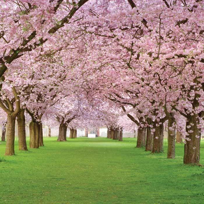 Vliesové fototapety na stenu Dimex - Kvitnúce stromy 220 x 220 cm