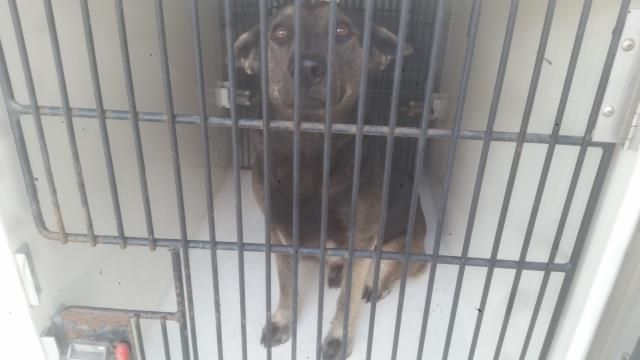 11/29/16-HOUSTON - HIGH KILL FACILITY - ALL DOGS URGENT DUE TO OVERCROWDING This DOG - ID#A473136 I am a female, black and gray German Shepherd Dog and Siberian Husky. The shelter staff think I am about 10 months old. I have been at the shelter since Nov 29, 2016. This information was refreshed 48 minutes ago and may not represent all of the animals at the Harris County Public Health and Environmental Services.