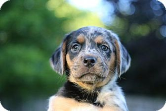 Eden Prairie, MN - Catahoula Leopard Dog. Meet Pa'u Zotoh Zhaan D171147: PENDING ADOPTION a Puppy for Adoption.