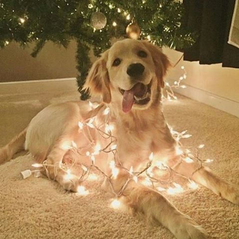 Christmas Dog Wrapped In Lights !! ❤