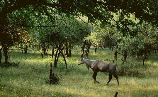 Commonly observed at Ranthambore are nilgai antelopes, also known as blue bulls.