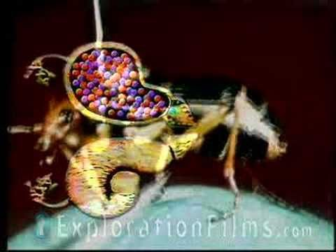 ▶ Bombardier Beetle Defies Evolution - YouTube- Fall week 8 - insects. Or anytime with our Rhetoric discussions.