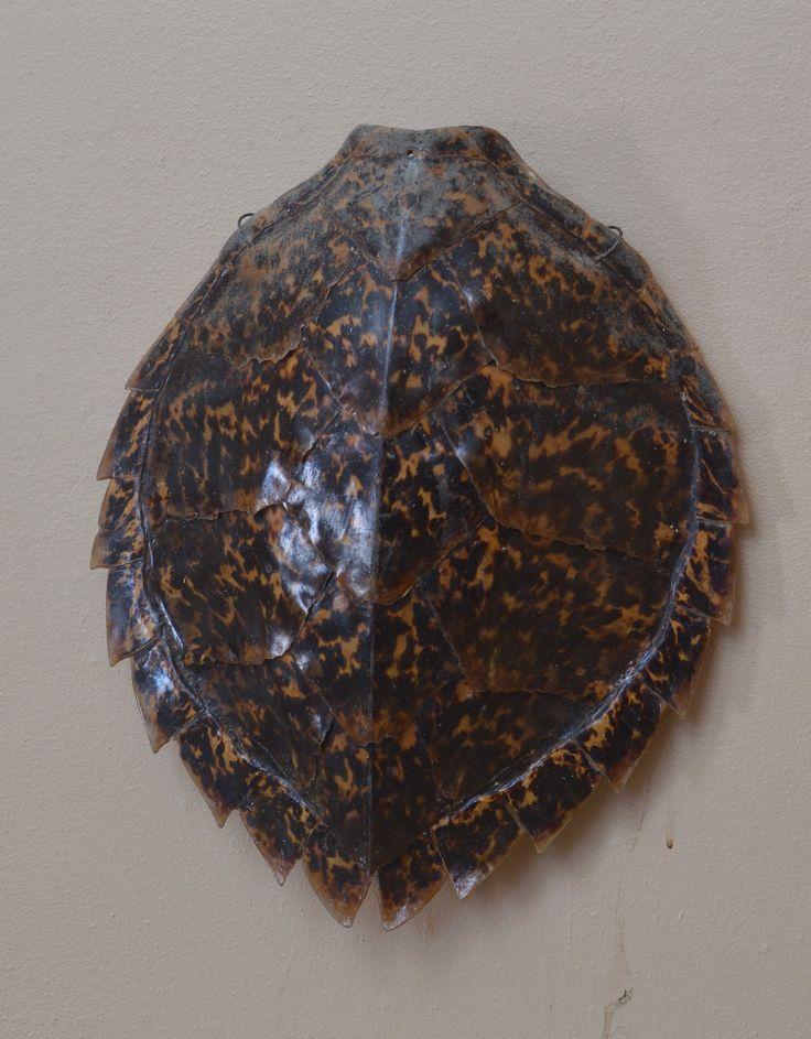 Caparazón de Tortuga  Nota:  En el Museo de Caja de Muertos exiben varios caparazones / conchas de tortugas de diferentes tipos o clases de tortugas.
