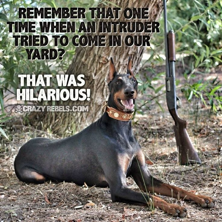 17 Best Images About Pins For Pets On Pinterest: 17 Best Images About Dobermans ROCK On Pinterest