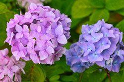 Hortensien pflanzen – So wird's gemacht
