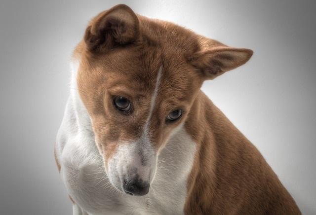 Comment enlever l'odeur d'urine de chien dans la maison. Votre chien a fait pipi dans la maison ? L'odeur d'urine peut être très forte et il est vivement recommandé de l'éliminer dès que vous constatez que votre chien a uriné. Autrement, il sera plus diffic...
